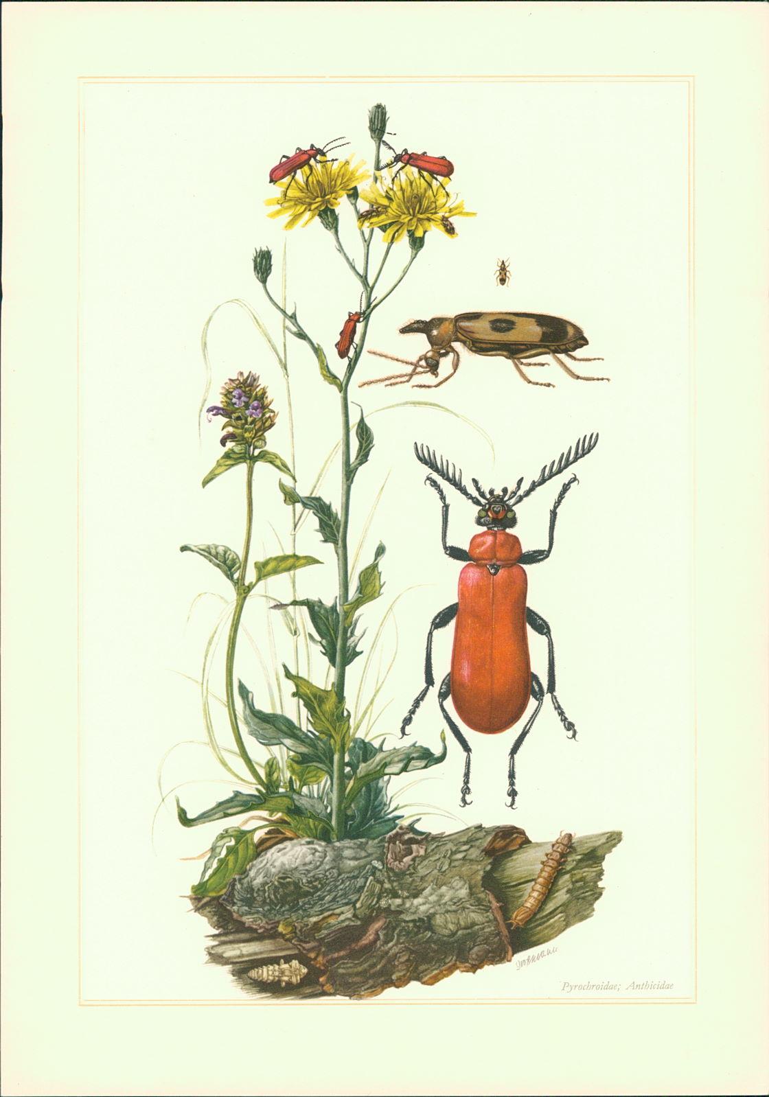 Grossmann, K.: Kunstdruck - Offsetdruck. Käfer. Feuerkäfer. Kardinalkäfer (Pyrochroa coccinea l.). Einhornkäfer Notoxus (= Anthicus) monoceros l.) Farboffsetdruck.
