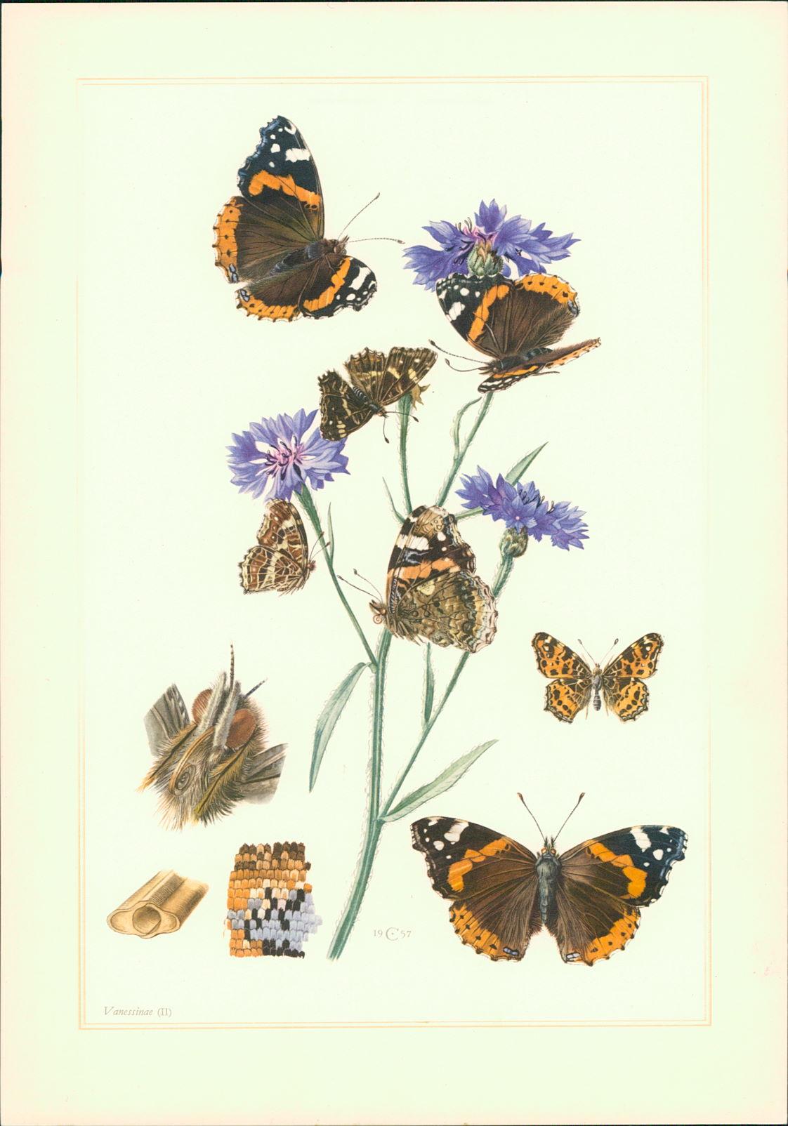 Caspari, Claus: Kunstdruck - Offsetdruck. Schmetterling. Fleckenfalter. Admiral (Vanessa (= Pyrameis) atalanta l.). Landkärtchen (Araschnia levana l.). Farboffsetdruck.