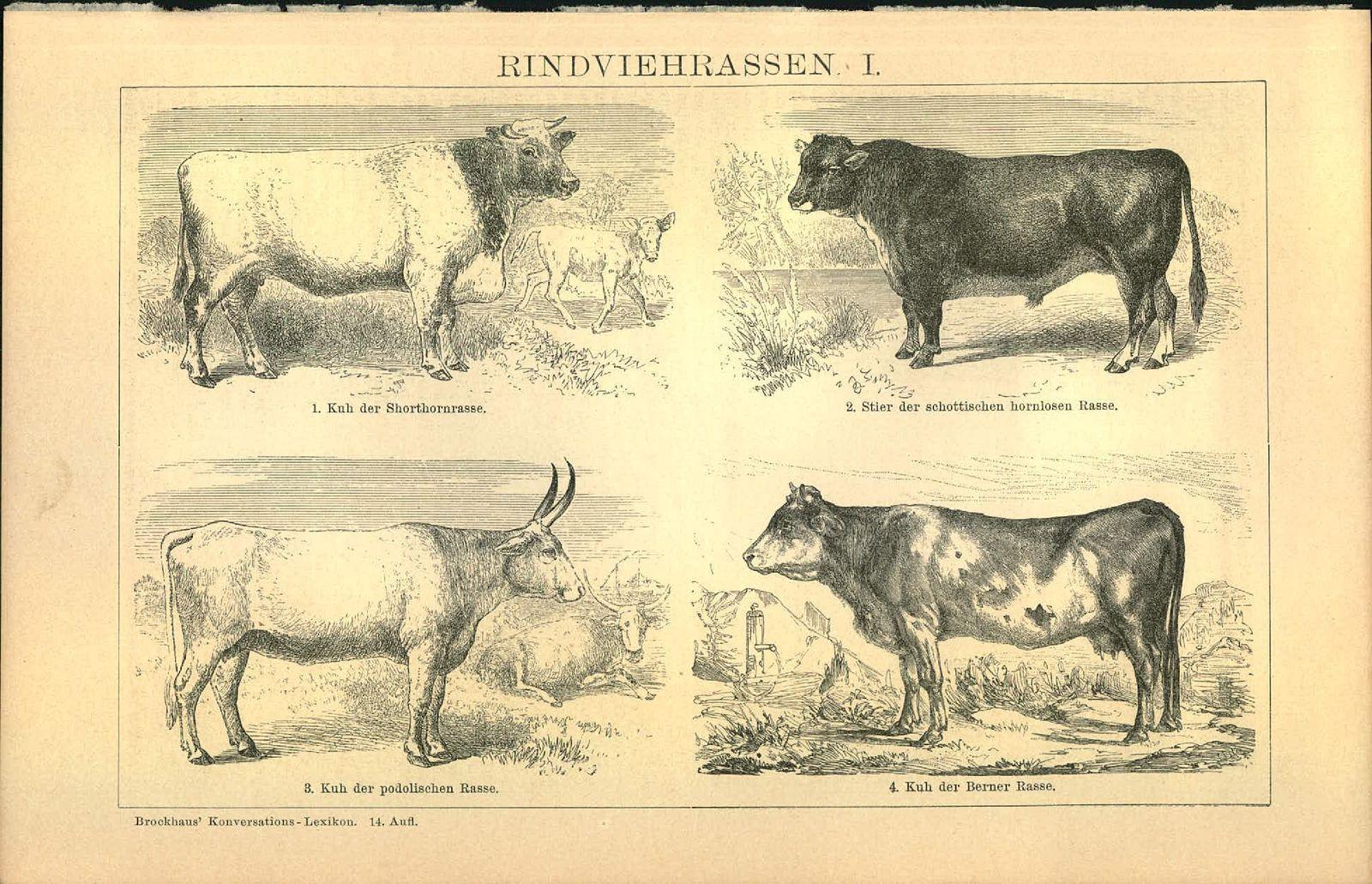 Holzschnitt - Holzstich - 1903 - Rindviehrassen I - Shorthornrasse - schottischen hornlosen Rasse - Podolischen Rasse Berner Rasse - Schwyzer Rasse - holländischen Rasse.