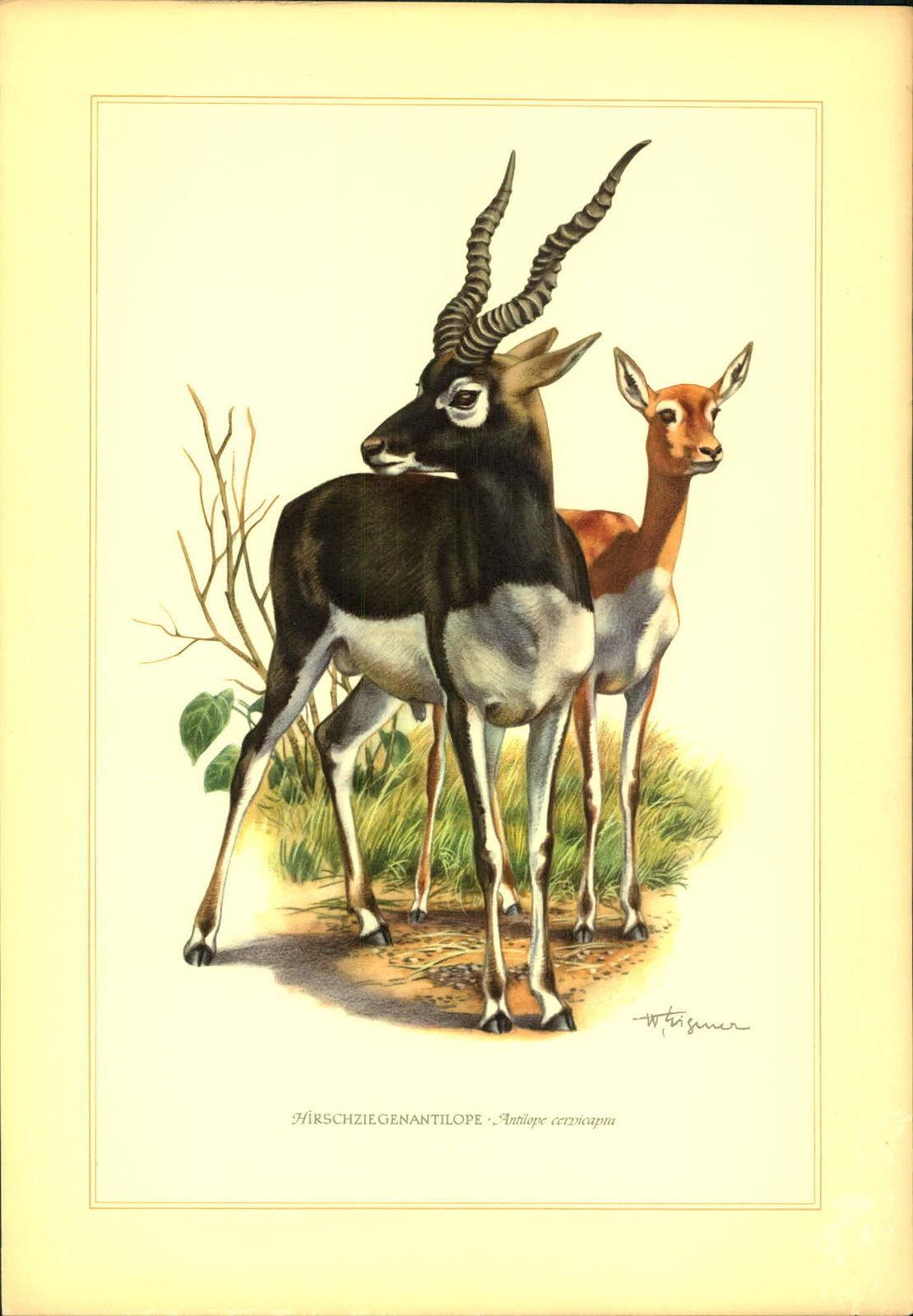 Hirschziegenantilope (Antilope cervicapra). Kunstdruck.