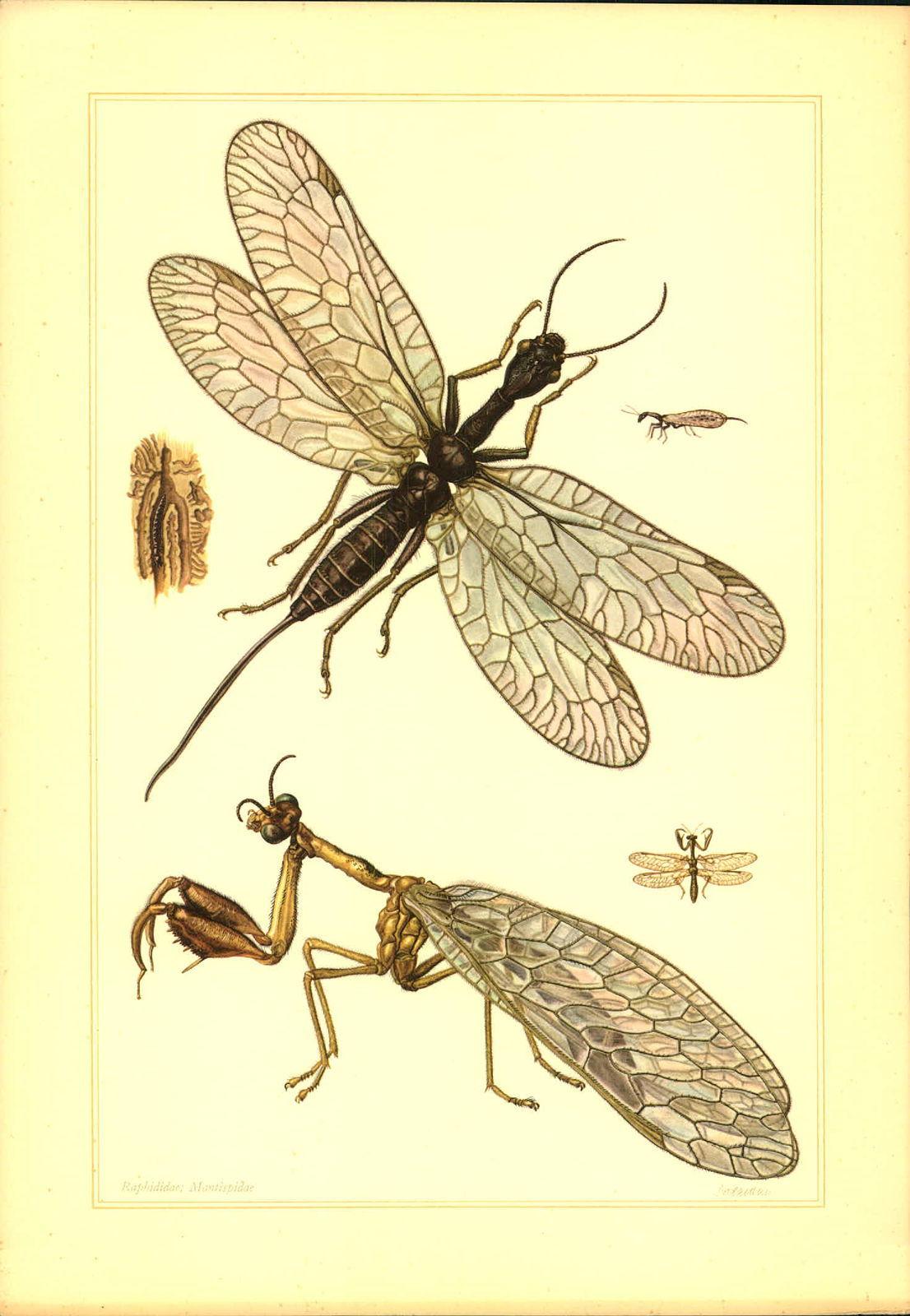 Schlangenäugige Kamelhalsfliege (Mantispa pagana) Nach einem Bild von Grossmann