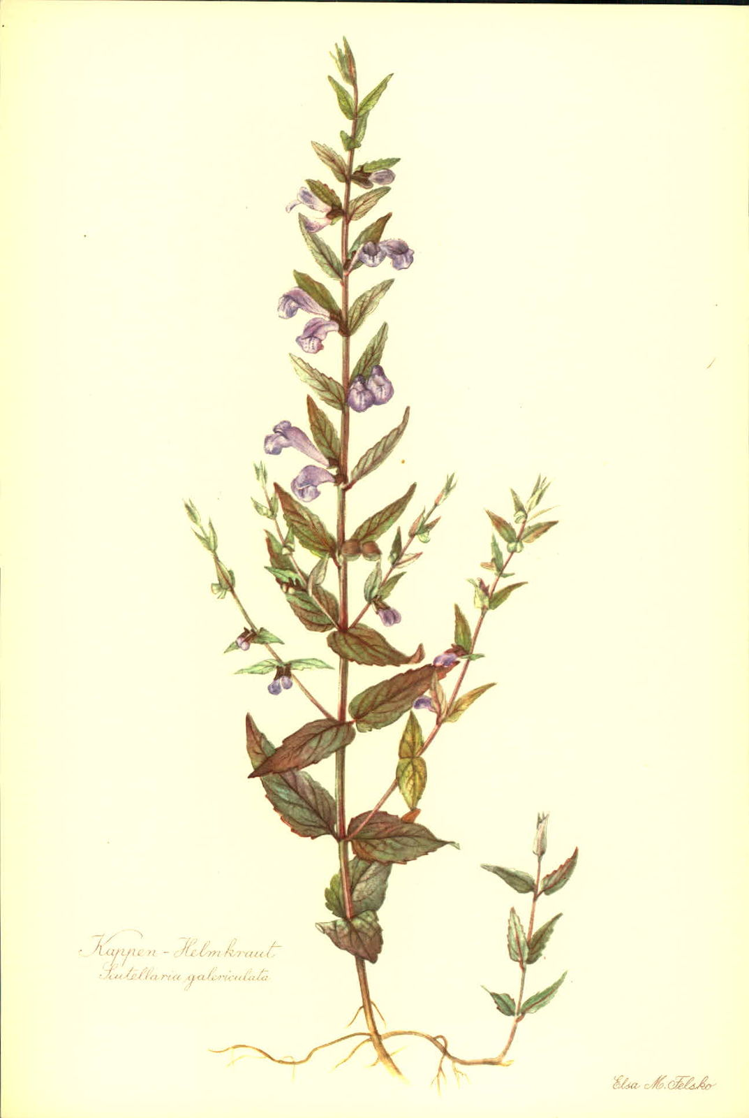 Kappen - Helmkraut (Scutellaria galericulata).