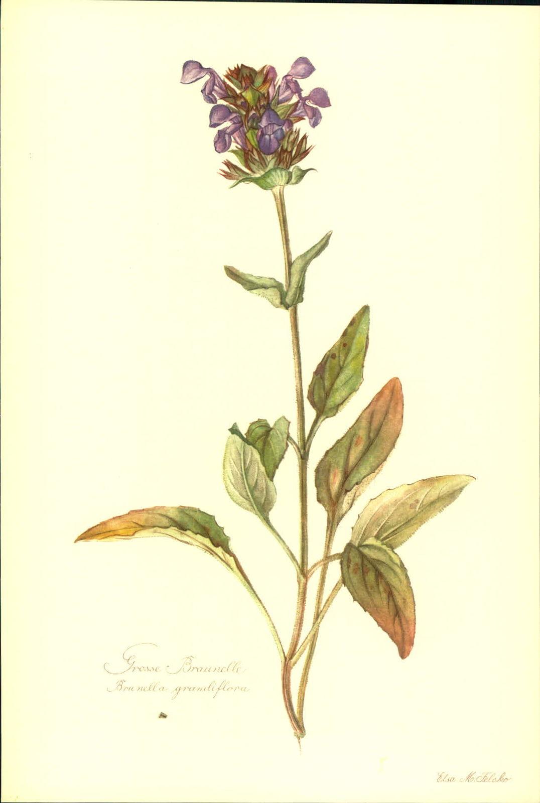 Große Braunelle (Brunella grandiflora). Kunstdruck nach Aquarell von Elsa M. Felsko.