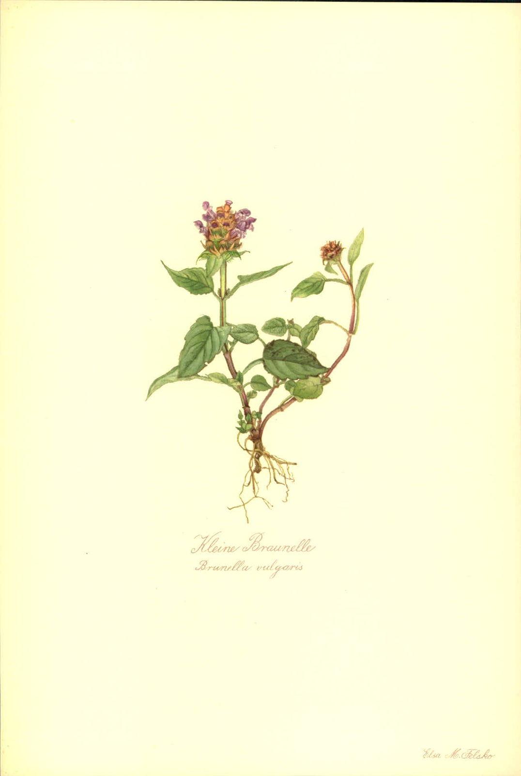 Kleine Braunelle (Brunella vulgaris). Kunstdruck nach Aquarell von Elsa M. Felsko..