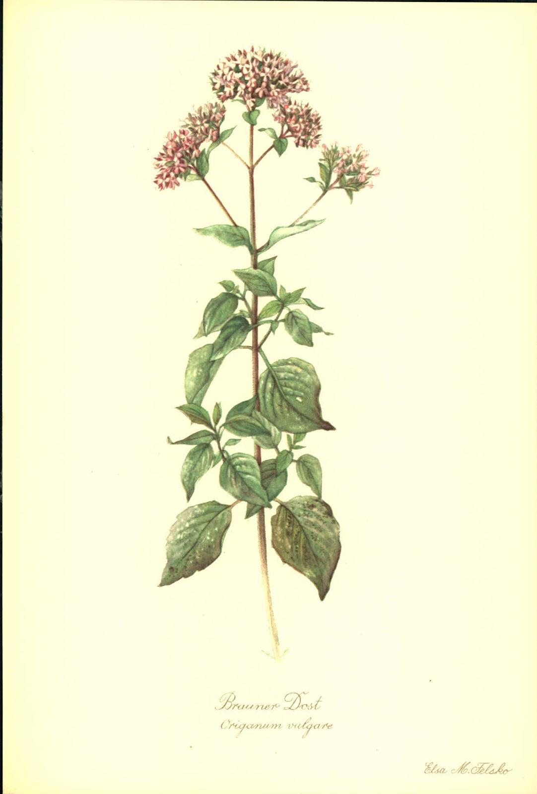 Brauner Dost (Origanum vulgare). Kunstdruck nach Aquarell von Elsa M. Felsko.