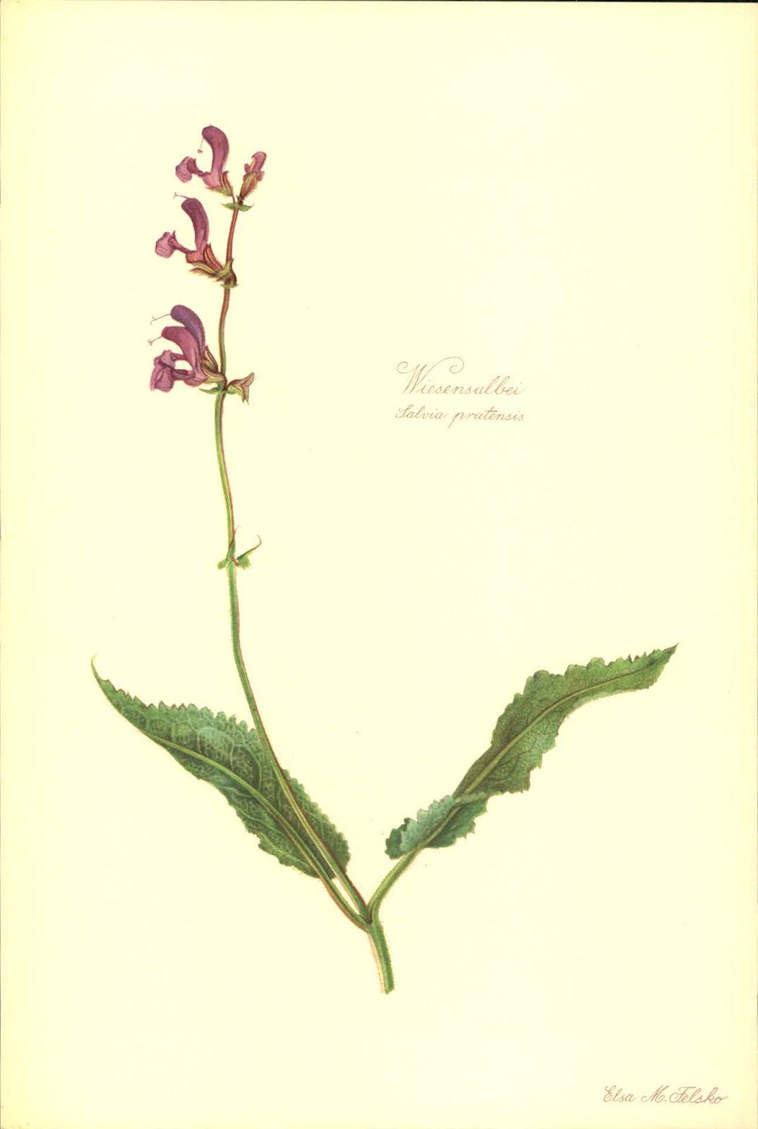 Wiesensalbei (Salvia pratensis). Kunstdruck nach Aquarell von Elsa M. Felsko.