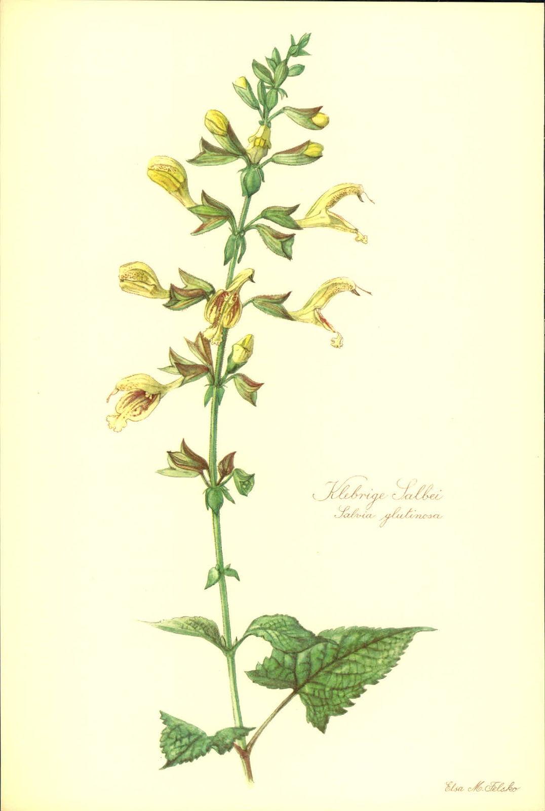 Klebrige Salbei (Salvia glutinosa). Kunstdruck nach Aquarell von Elsa M. Felsko.
