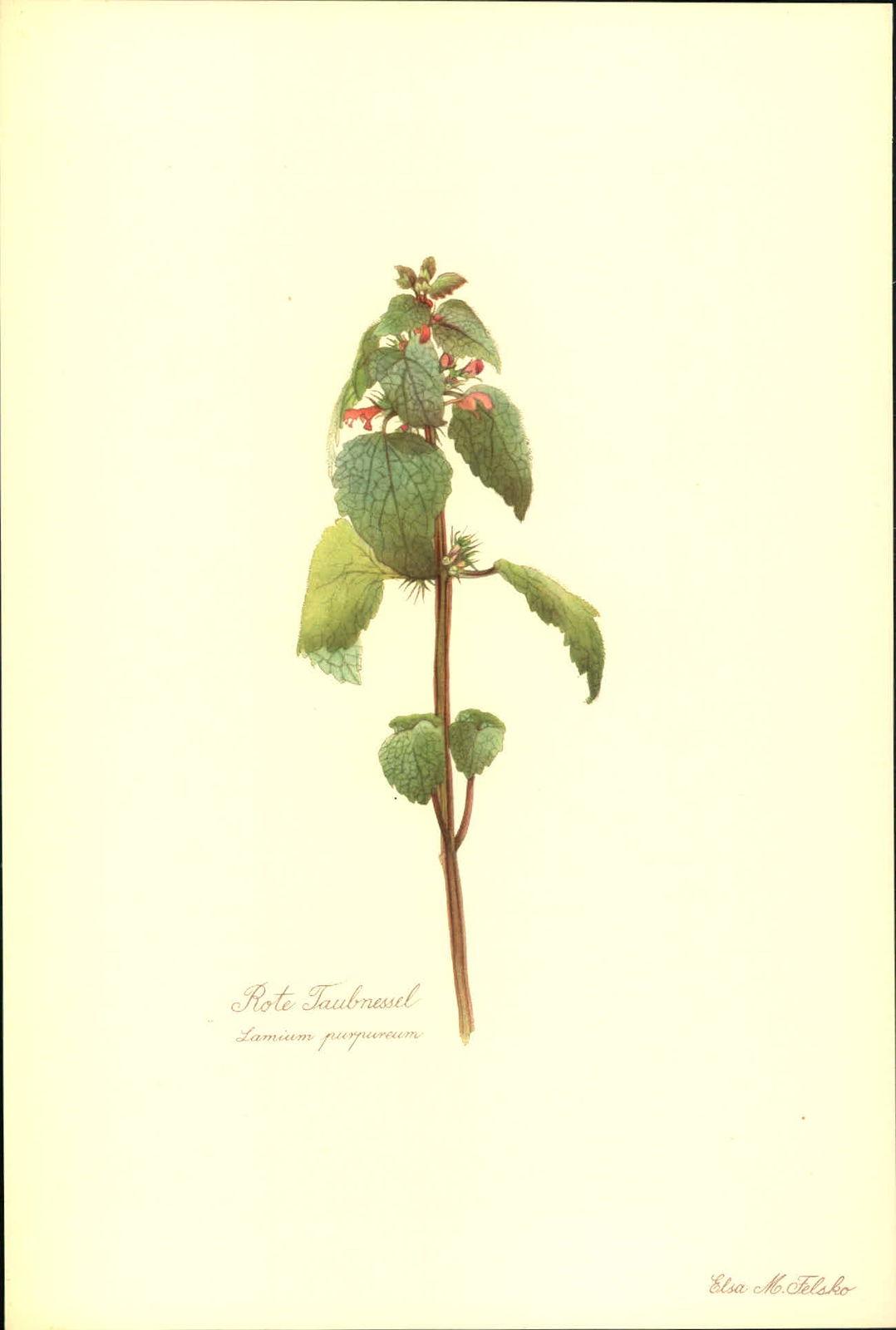 Rote Taubnessel (Lamium purpureum). Kunstdruck nach Aquarell von Elsa M. Felsko.