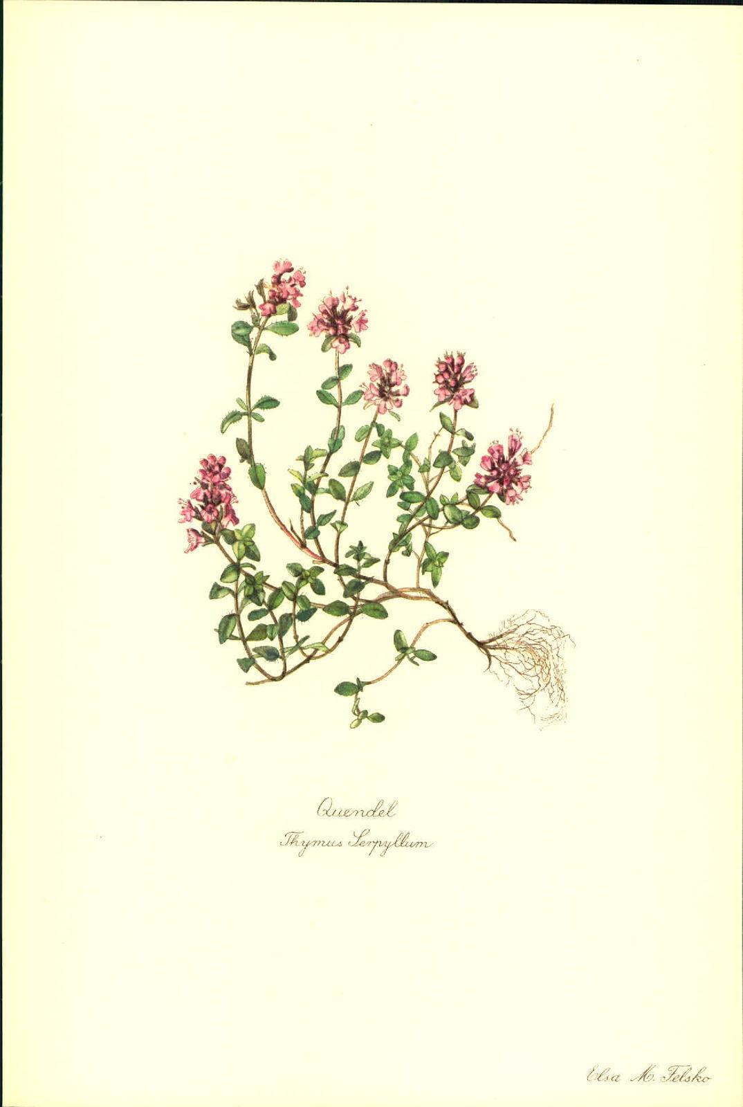 Quendel (Thymus Serpyllum). Kunstdruck nach Aquarell von Elsa M. Felsko.