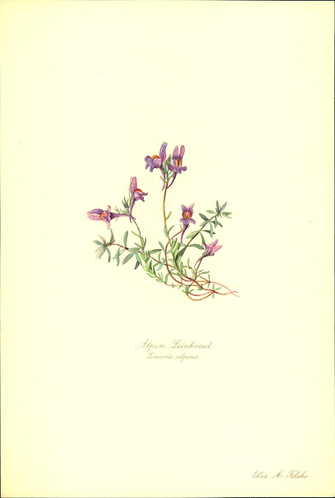 Alpen Leinkraut (Linaria alpina). Kunstdruck nach Aquarell von Elsa M. Felsko. Alpenleinkraut.