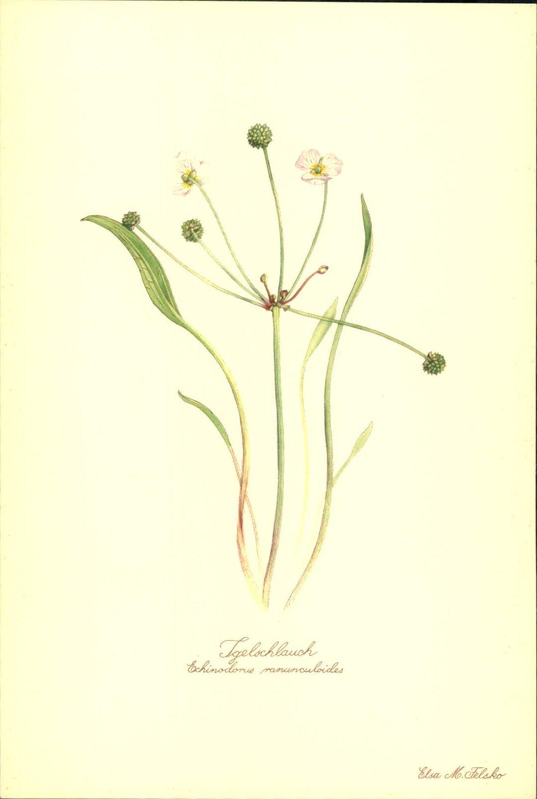 Igelschlauch (Echinodorus ranunculoides). Kunstdruck nach Aquarell von Elsa M. Felsko.
