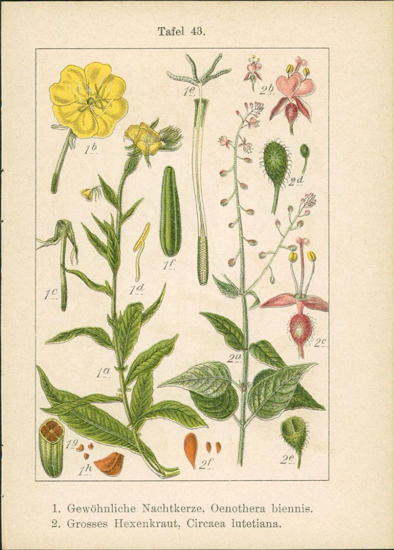 Lithographie : 1. Isnardie, Jussioea Isnardia. 2. Wassernuss, Trapa natans. 1. Gewöhnliche Nachtkerze, Oenothera biennis. 2. Grosses Hexenkraut, Circaea lutetiana.