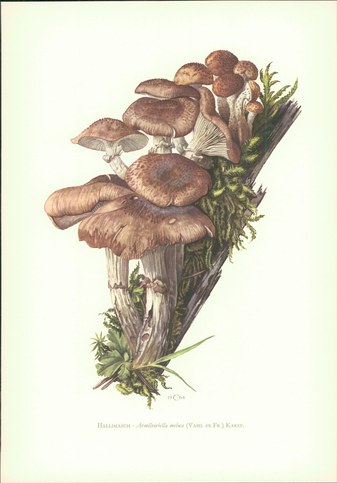 Pilze - Claus Caspari : Hallimasch • Armillariella mellea (Vahl ex Fr.) Karst. Offset-Lithographie von C. Caspari.