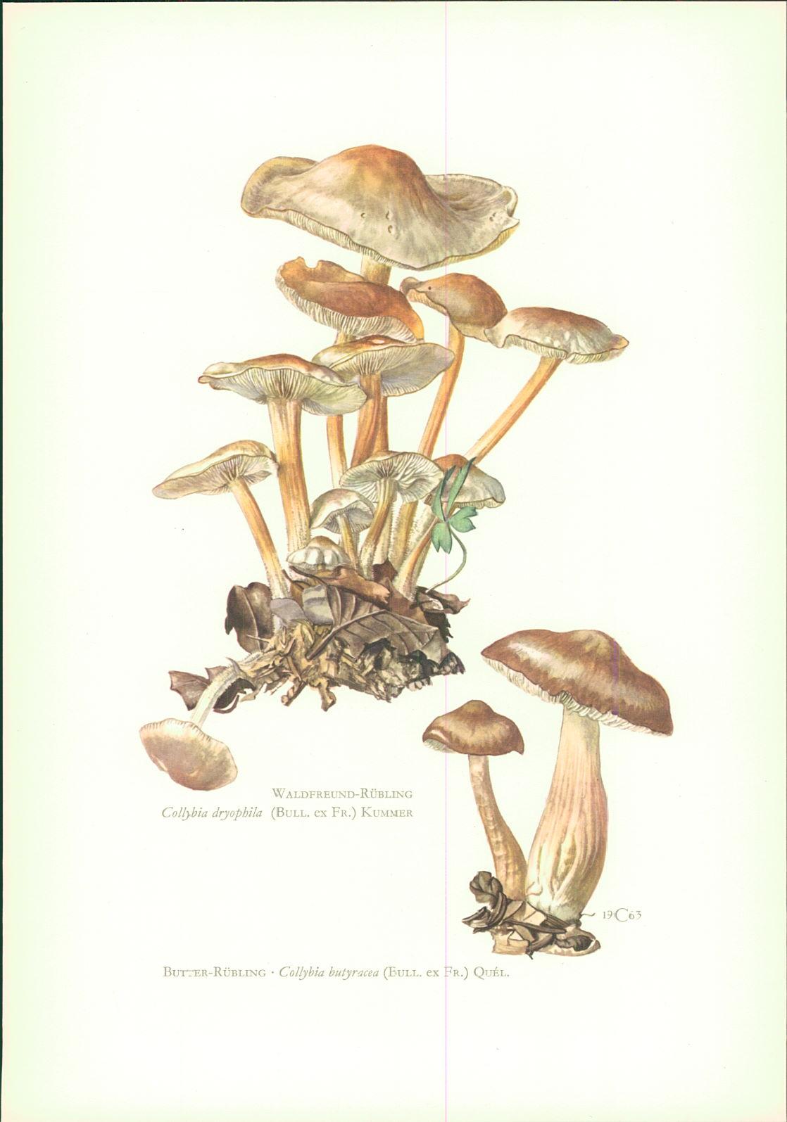 Caspari, C.: Pilze - Claus Caspari : Waldfreund-Rübling. Collybia dryophila (Bull. ex Fr.) Kummer Offset-Lithographie von C. Caspari. Butter-Rübling • Collybia butyracea (Bull. ex Fr.) Quel.