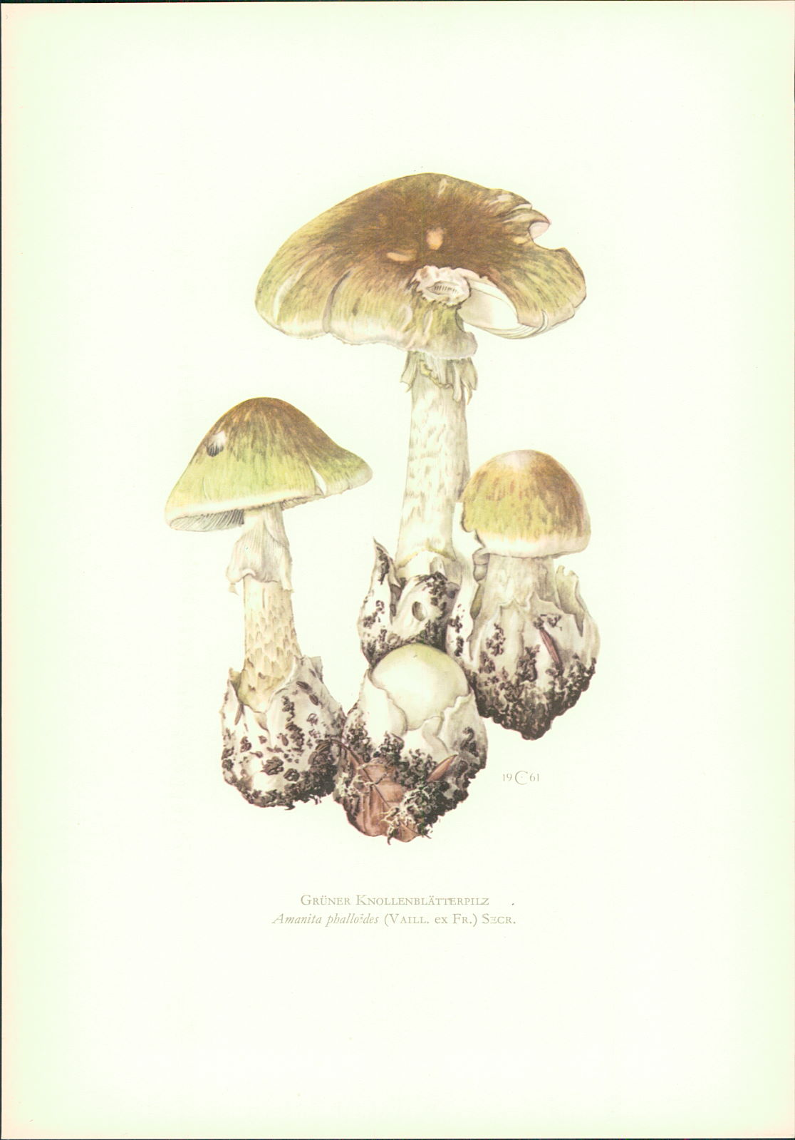 Caspari, C.: Pilze - Claus Caspari : Grüner Knollenblätterpilz. Amanita phalloides (Vaill. ex Fr.) Secr. Offset-Lithographie von C. Caspari.