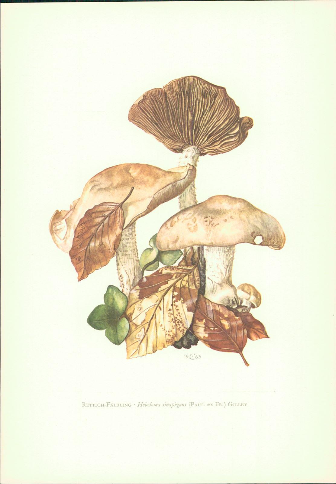 Caspari, C.: Pilze - Claus Caspari : Rettich-Fälbling • Hebeloma sinapizans (Paul. ex Fr.) Gillet Offset-Lithographie von C. Caspari.