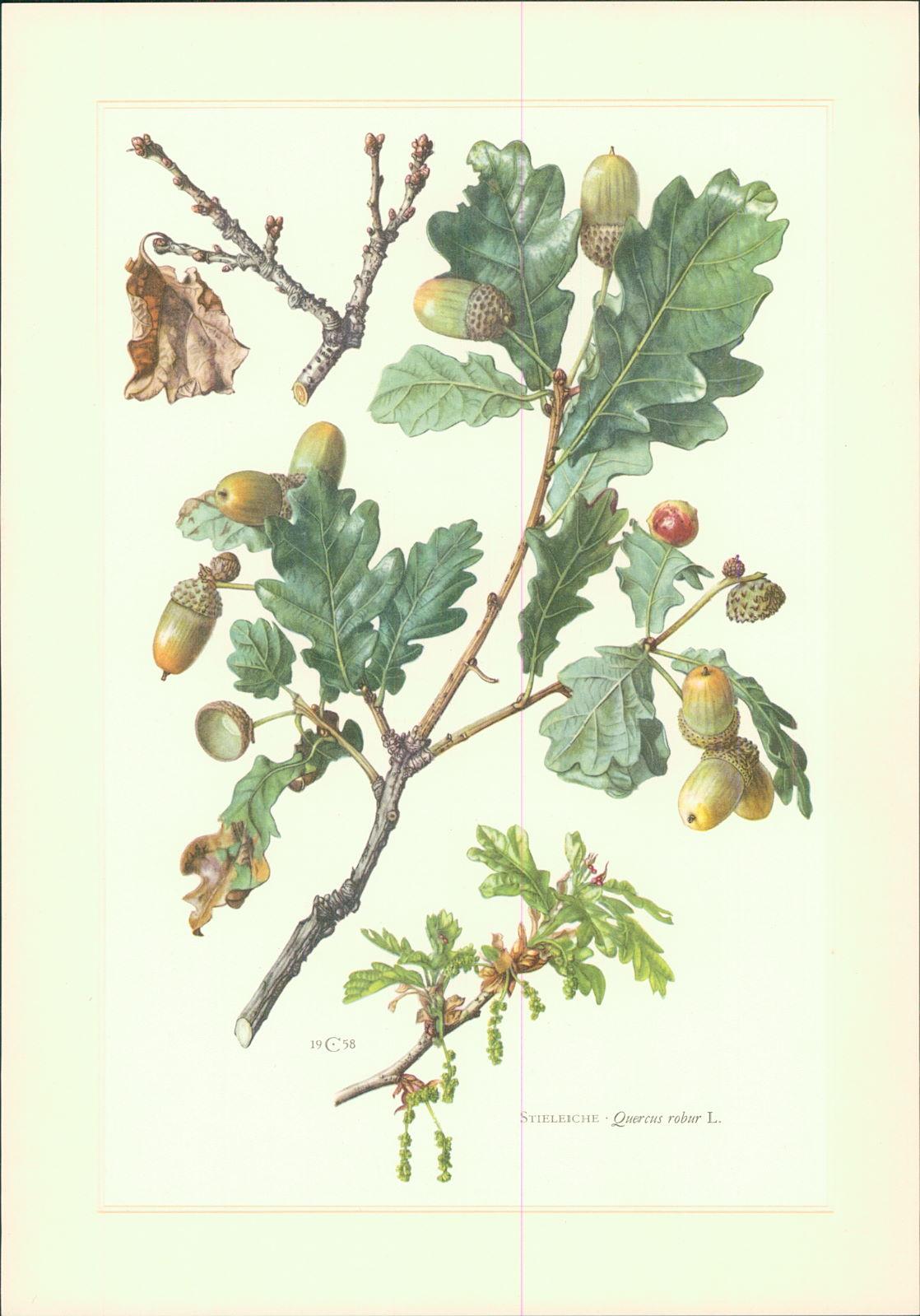 Caspari, Claus: Kunstdruck - Offsetdruck. Claus Caspari : Stieleiche - Quercus robur L. Farboffsetdruck. Offset-Lithographie von C. Caspari. 2. Aufl.