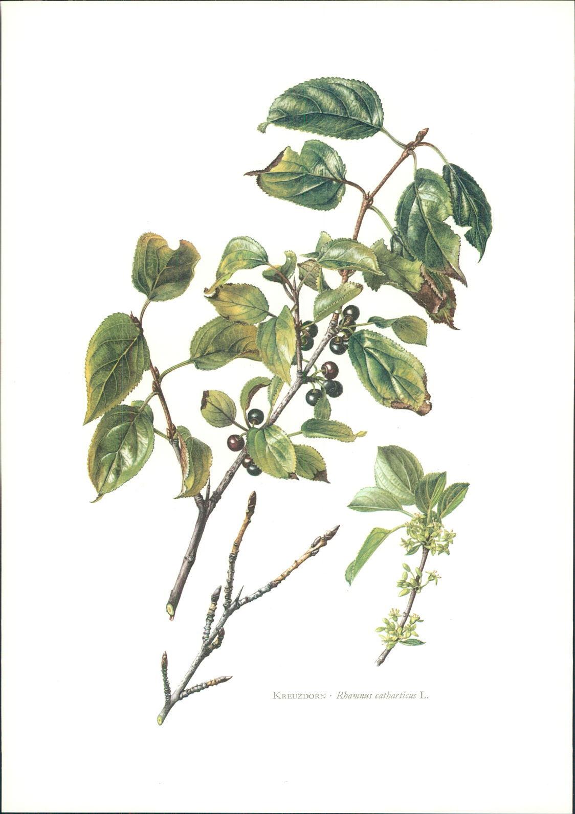 Druck. Kreuzdorn - Rhamnus catharticus L. Claus Caspari. Offset-Lithographie.