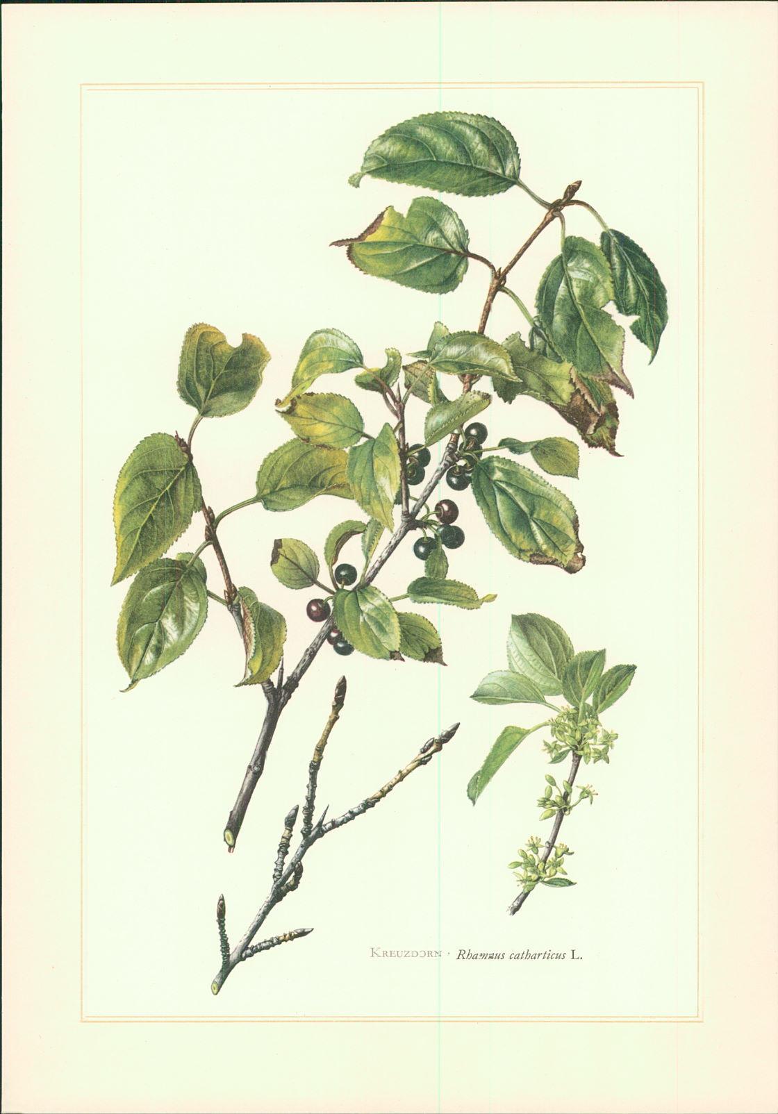 Sonderdruck. Kreuzdorn - Rhamnus catharticus L. Claus Caspari. Offset-Lithographie. Sonderdruck für die Freunde des Verlages.