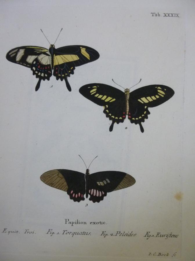 Kupferstich Schmetterling Papilion exotic Butterfly