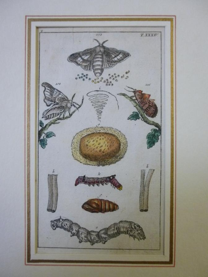 Kupferstich Schmetterling, Falter, Raupen , Motte - Insekten in Darstellungen