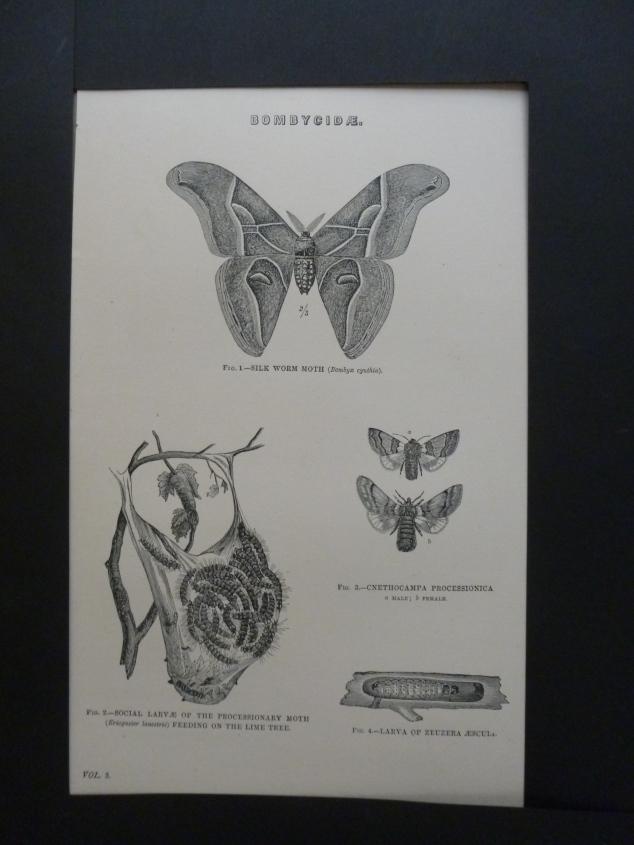 Org Holzstich Bombycidae Schmetterlinge und Käfer Der Holzstich stammt aus altem Naturkundebuch