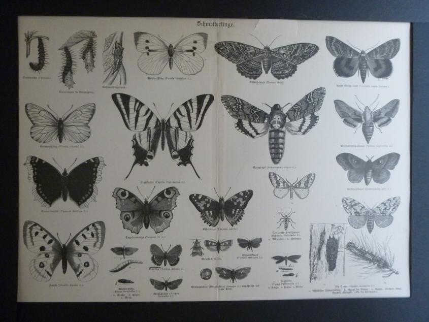 Org Holzstich Schmetterlinge und Käfer Der Holzstich stammt aus altem Naturkundebuch
