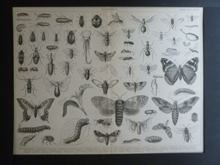Org Holzstich Entomology Schmetterlinge und Käfer Der Holzstich stammt aus altem Naturkundebuch