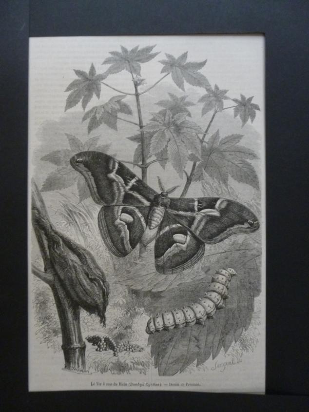 Org Holzstich Le Ver a soie du Ricin Schmetterlinge und Käfer Der Holzstich stammt aus einer deutschen Familienzeitung