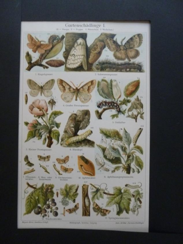 Org Chromolithographie Gartenschädlinge 1 Schmetterlinge und Käfer Aus Meyers Konversations- Lexikon