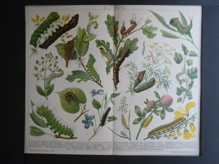 Org Chromolithographie Raupen Schmetterlinge und Käfer Brockhaus Konversations- Lexikon