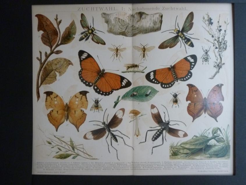 Org Chromolithographie Zuchtwahl 1: Nachahmende Zuchtwahl Schmetterlinge und Käfer Brockhaus Konversations- Lexikon