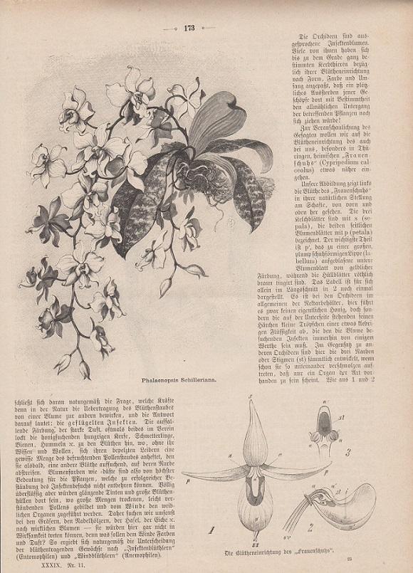 orig. Holzstich Auszug mit insgesamt 3 Abbildungen - Orchideen Nach der Natur aufgenommen von E. Schmidt