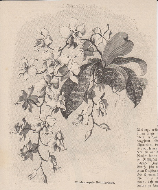 orig. Holzstich Phalaenopsis Schilleriana - Orchideen