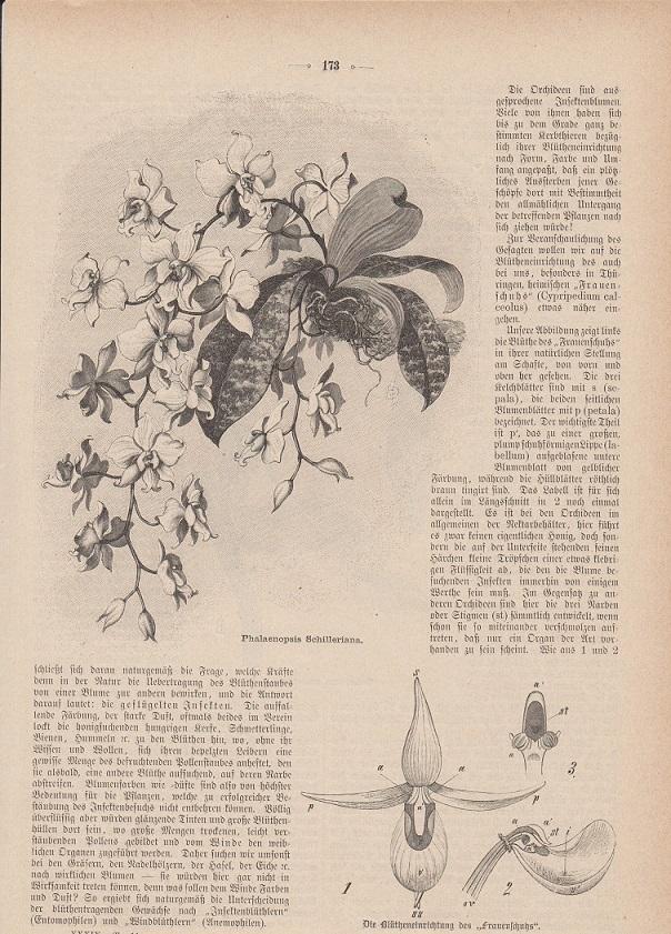 orig. Holzstich Auszug mit insgesamt 3 Abbildungen - Orchideen