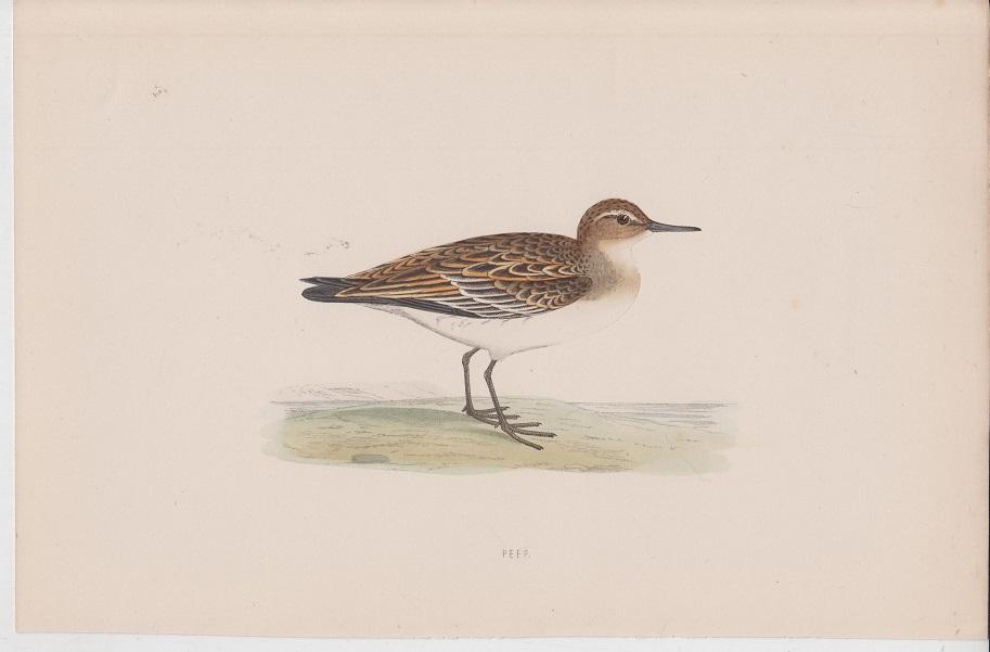 Morris orig. Holzstich Wood engraving Vogel Peep British Birds