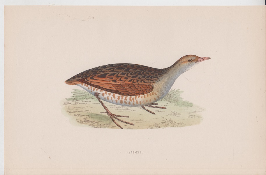 Morris orig. Holzstich Wood engraving Vogel Land-Rail British Birds