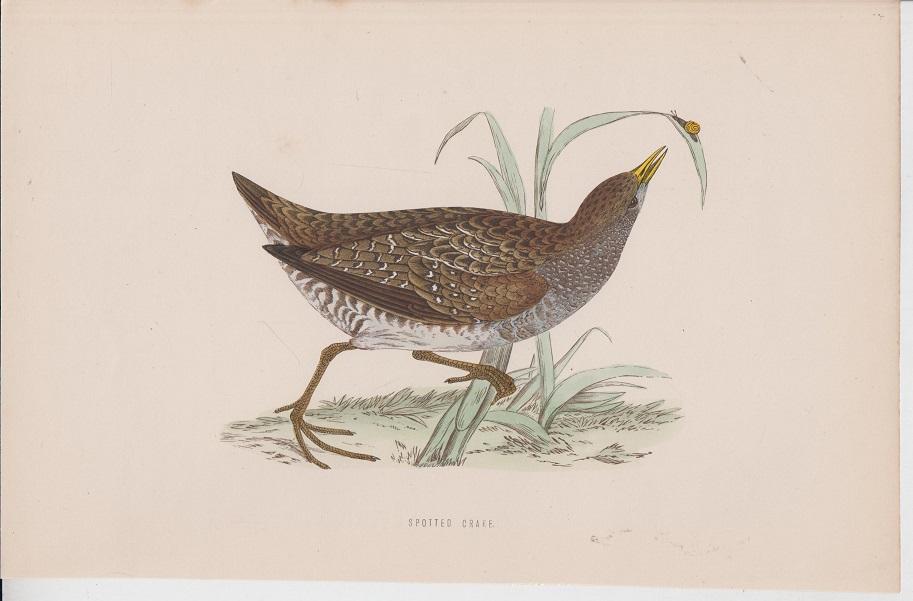 Morris orig. Holzstich Wood engraving Vogel Spotted Crake British Birds