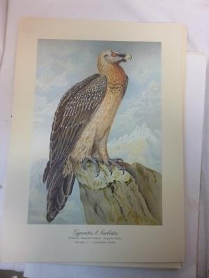 Kunstdruck Greifvögel - Bartgeier - aus dem Werk: Naturgeschichte der Greifvögel Mitteleuropas -