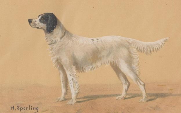 Orig. kolorierter Holzstich - Hunde - Englischer Setter. H. Sperling