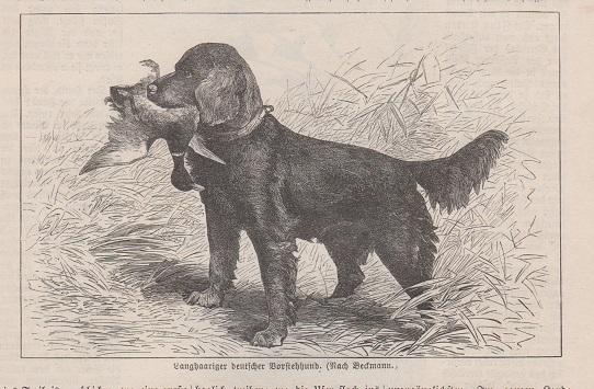Orig. Holzstich - Langhaariger deutscher Borstehhund. (Mit Text) Nach Beckmann.