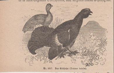 Orig. Holzstich: Das Birkhuhn. Tetrao tetrix. Nr. 1617,