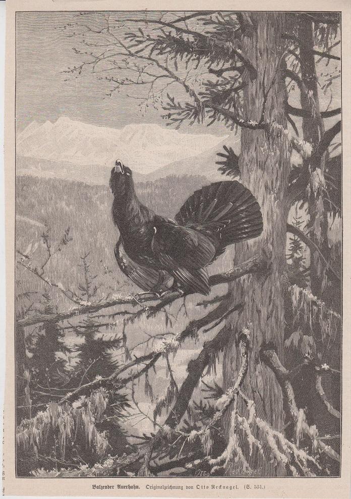 Orig. Holzstich: Balzender Auerhahn. Originalzeichnung von Otto Recknagel.