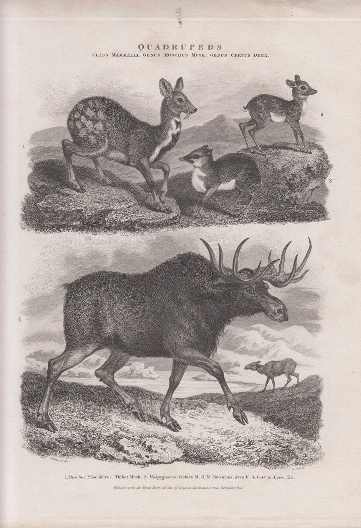 Orig. Kupferstich: Quadrupeds. v. J. Scott ( Hirsch, Reh , Elch ) Class Mammalia, Genus moschus musk, Genus cervus deer.