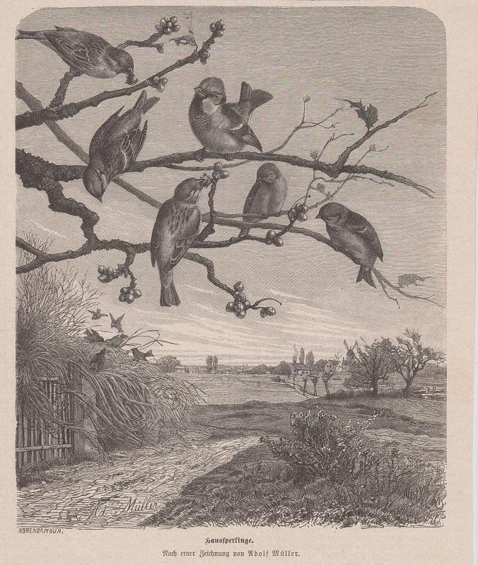 Orig. Holzstich: Haussperlinge. Nach einer Zeichnung von Adolf Müller.