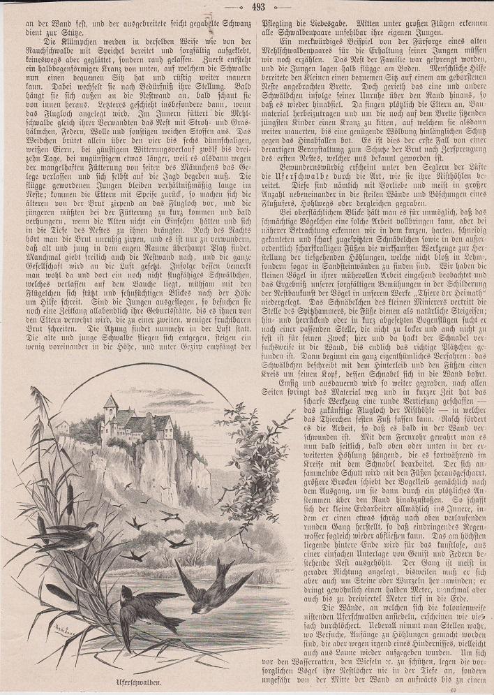 Orig. Holzstich: Mauersegler. Uferschwalben. (Vorder-und Rückseite)