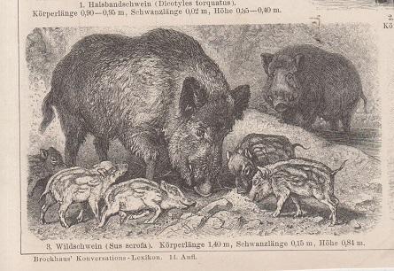 Orig. Holzstich: Wildschweine und ihre Jungen. Brockhaus Konversations-lexikon, 14. Aufl.
