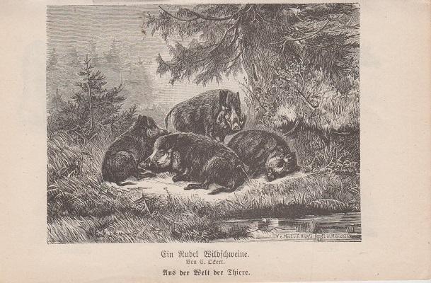 Orig. Holzstich: Ein Rudel Wildschweine. Aus der Welt der Thiere. Von C. Ockert.