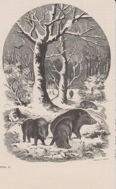 Orig. Holzstich: Wildschweine.