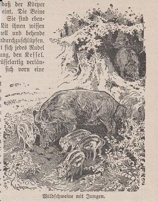 Orig. Holzstich: Wildschweine mit Jungen.